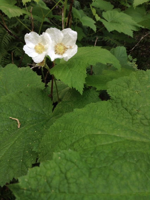 00_Thimbleberry_150427_#33 (4)